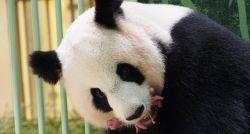 Panda gigante dá à luz 2 filhotes em zoológico na França; veja vídeo