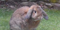 Juiz concede liminar para passageira levar coelho em viagem de avião